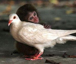 Baby monkey with pigeon mom