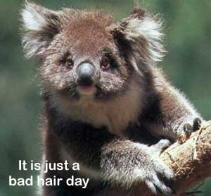 Bad hair day koala