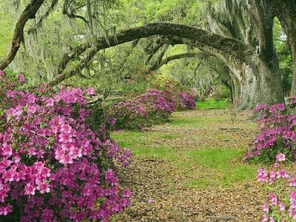 Azaleas and live oaks magnolia plantation south carolina