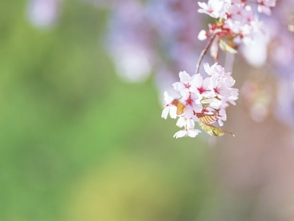 Ezo yamazakura cherry blossom flower