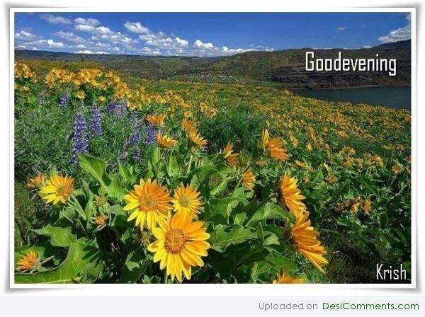 Good evening sunflower field