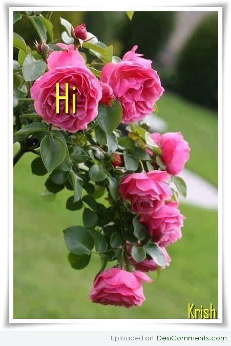 Hi pink roses