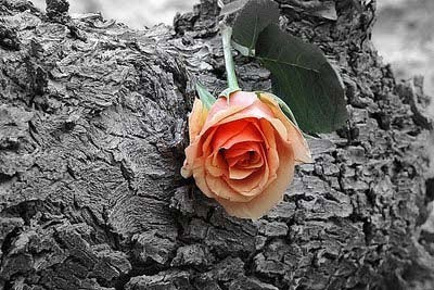 Rose bud for you on rose day
