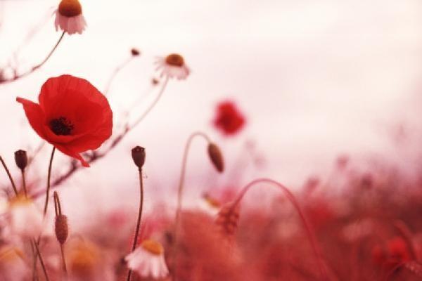 Veterans day in canada poppy flower storemypic liked like share mightylinksfo