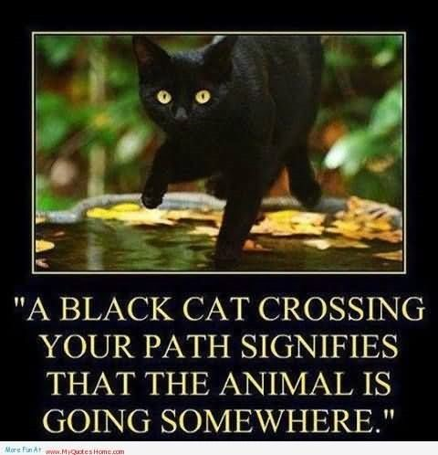 A black cat crossing your path signifies that the animals is going somewhere
