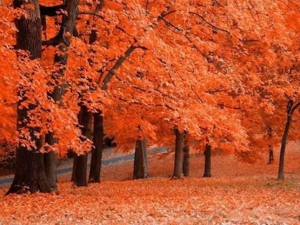 Beautiful orange leaves in autumn season