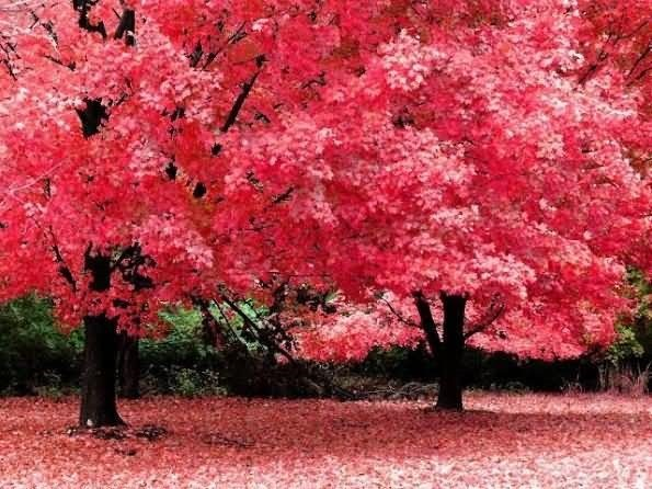 Beautiful pink leaves during autumn season
