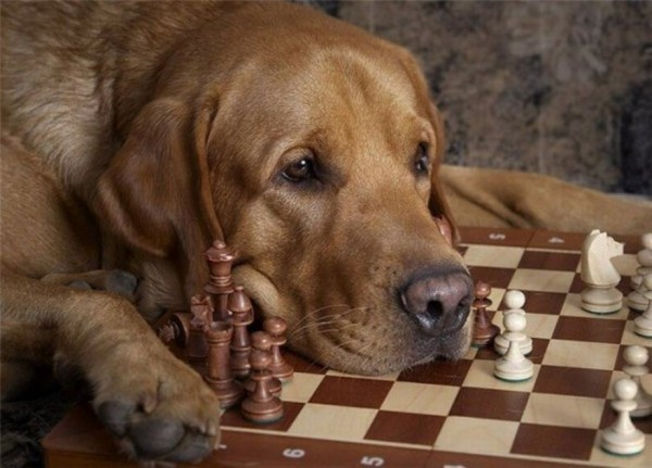 https://www.storemypic.com/images/2016/11/22/dog-playing-chess-2f655.md.jpg