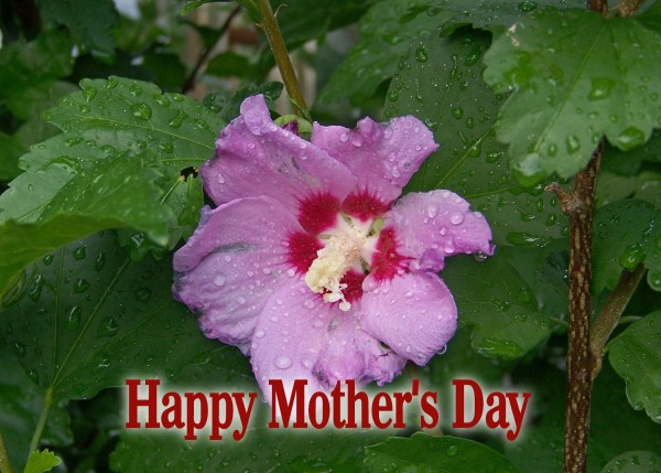 Mother's Day Rose of Sharon